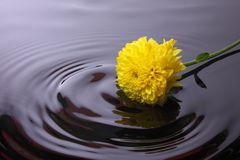 Water wave from Calendula flower Stock Images