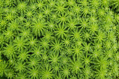 Water weed Stock Photography