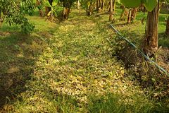 Water weed burning effect from herbicide. Weed control by pesticide Stock Photo