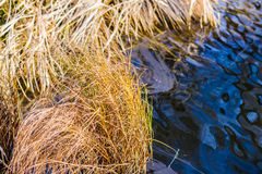 Water weeds in the autumn Royalty Free Stock Photo