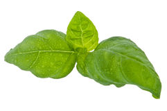 Water wetted basil leaves (with clipping path). Water wetted basil leaves isolated on white background (with clipping path royalty free stock photo