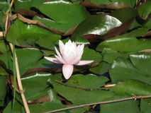 Water white lily Royalty Free Stock Photography