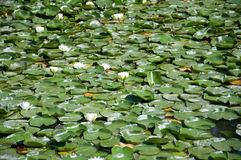 Water white lotuses on the pond, background Stock Images