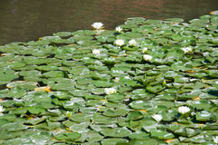 Water white lotuses on the pond, background Royalty Free Stock Images