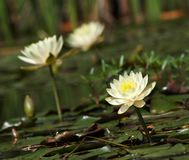 Water world. White lilies in a water garden royalty free stock photos