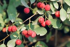 Water Xunzi fruits Stock Photo