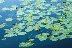 Water yellow water lilies in the pond. Natural summer background stock photos