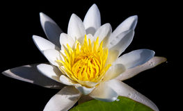 The water yellow-white lily Stock Image
