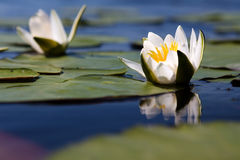 The water yellow-white lily Royalty Free Stock Images