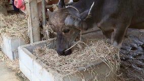 Waterbaffalo die droog gras eten stock video