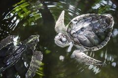 Waterballet черепахи Стоковая Фотография RF