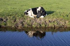 Waterbezinning van een bont kalf, slapen omhoog gekruld, bij de bank van een blauwe rivier stock afbeelding