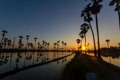 Waterbezinning van suikerpalm terwijl de zon toeneemt royalty-vrije stock fotografie