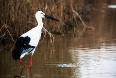 Waterbird ищет еда в пруде Стоковое Изображение RF