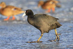 Waterbird black goes on the ice of the city Royalty Free Stock Image