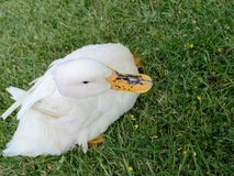 Duck resting on the grass stock photos