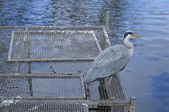 Waterbird on dock Stock Photos