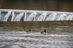 Mallard duck. Waterbird of Europe prefer living in lakes Stock Photo