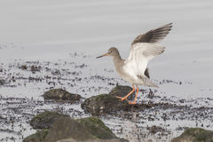 Waterbird flapping his wings Royalty Free Stock Photos
