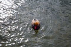 Waterbird and på vattnet, mandarin royaltyfria foton