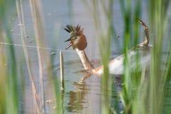 Waterbird (Podicepscristatus) som är nödställd på grund av en fiskare arkivfoto