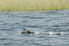 Waterbird in Skadar lake national park. This national park is home for milions birds Royalty Free Stock Images