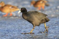 Waterbird svart går på isen av staden royaltyfri bild