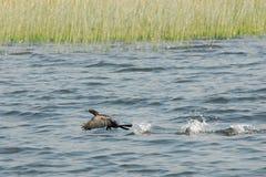 Waterbird w Skadar jeziora parku narodowym Obrazy Royalty Free