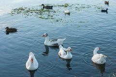 waterbirds群在湖的 免版税图库摄影