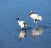 waterbirds λιμνών Στοκ Φωτογραφία