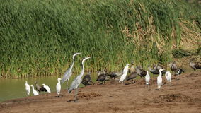 Waterbirds στη λίμνη Στοκ Φωτογραφίες