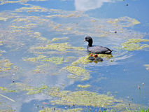 Waterbirds простофили Стоковое Изображение RF