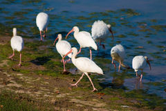Waterbirds Lizenzfreies Stockfoto