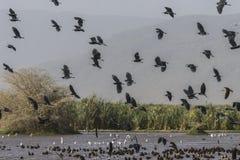 Waterbirds amedrontado Fotografia de Stock