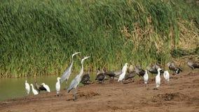 Waterbirds bij vijver Stock Foto's