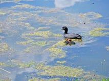 Waterbirds de la focha Imagen de archivo libre de regalías