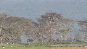 Waterbirds, Lake Nakuru Royalty Free Stock Images