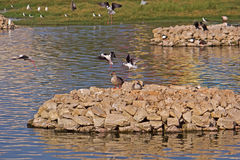 Waterbirds in Porbandar bird sanctuary Stock Photo