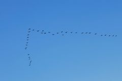 Waterbirds in the sky Royalty Free Stock Photo