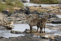Waterbok en olifantsriver Imágenes de archivo libres de regalías