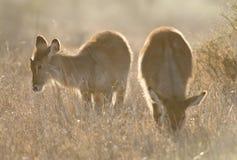 Waterbok, Waterbuck, ellipsiprymnus del Kobus foto de archivo libre de regalías