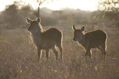 Waterbok, Waterbuck, ellipsiprymnus Kobus стоковые изображения rf