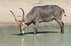 Waterbuck公牛-从非洲的野生生物充满壮观的垫铁和自豪感 库存照片