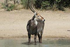 Waterbuck公牛-从非洲的野生生物骄傲的姿态的 库存图片