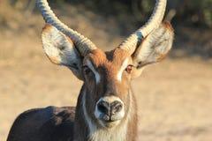 Waterbuck公牛-非洲野生生物-完美特写镜头  库存图片
