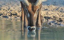 Waterbuck公牛-非洲野生生物-起波纹的饮料 库存图片