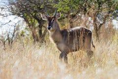 Waterbuck在塔拉私有比赛储备拍摄了在南非 免版税库存图片