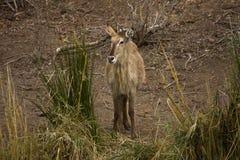 Waterbuck在河岸中, kruger bushveld,克鲁格国家公园,南非 图库摄影