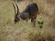 Waterbuck徒步旅行队国家公园Tarangiri Ngorongoro 图库摄影