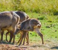 waterbuck或水在南非自然保护的大型装配架羚羊家庭  库存照片